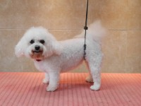 Bichon Frise after grooming