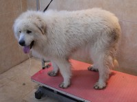 Pyrenean Mount Dog before grooming