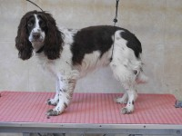 English Springer Spaniel before grooming