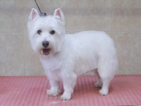West Highland White Terrier after grooming