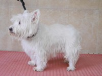 West Highland White Terrier before grooming