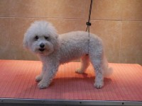 Bichon Frise before grooming