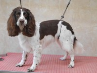 English Springer Spaniel after grooming