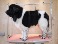 Newfoundland after grooming